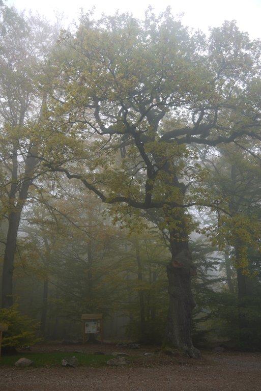 Kaltwassereiche+im+Nebel;+Simone+Naujack