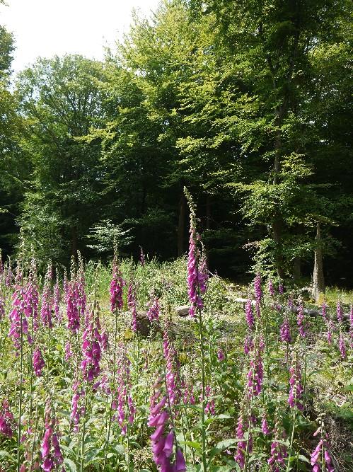 Wildäsungsfläche am Waldalgesheimer RuheForst