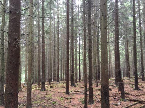 Das Bild zeigt den Blick in einen Fichtenwald